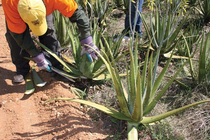 Forever Aloe Vera is carefully grown and harvested, ensuring the highest quality product possible.
