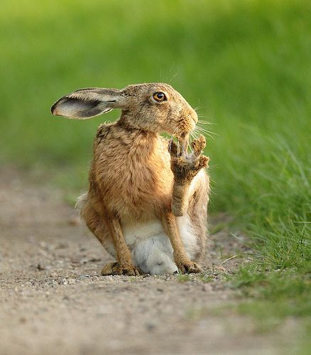 Brown Hare sitting on track toe in mouth at dusk. Suffolk. Lepus europaeus. www.mikerae.com