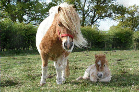 Shetland Ponies For Sale | Sandbeck Stud