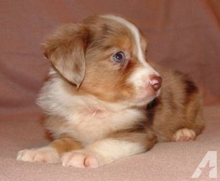 miniature aussies for sale in texas | CHAMPION BRED MINI AUSSIE PUPPIES for sale in Bastrop, Texas