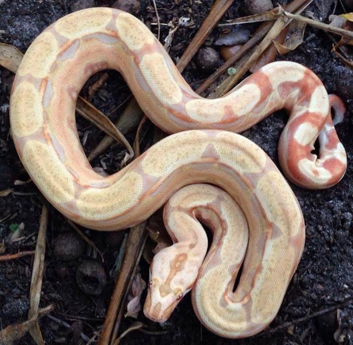 Perfect Predators - 'Jungle-Besque Albino' female Boa constrictor, Facebook.