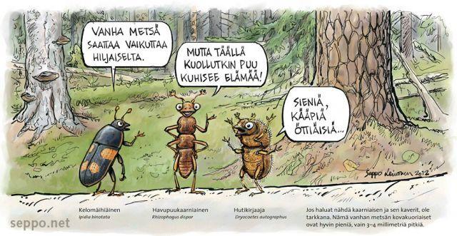Vanha metsä kuhisee elämää , keywords:  vanha metsä ikimetsä aarniometsä kuollut laho puu lahottaja kääpä sieni kovakuoriainen ötökkä kelomäihiäinen havupuukaarniainen hutikirjaaja Ipidia binotata Rhizophagus bipustulatus Dryocoetes autogra