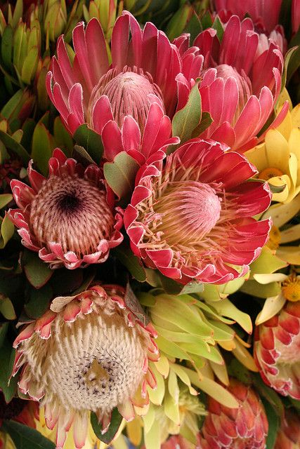 protea flowers- one of the oldest in the world. charlie's idea: 3 of these in some type of container hung from the aisles?