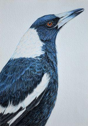 Australian Magpie 30 x 21 cm Pastel on handmade paper $650 framed SOLD