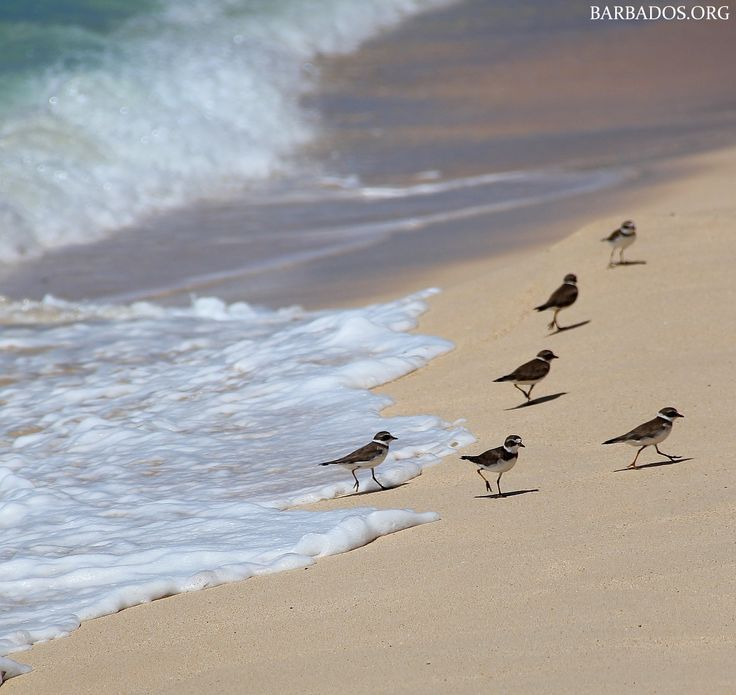 Sandpipers along the shore in Barbados. You'll often see them dancing with waves.