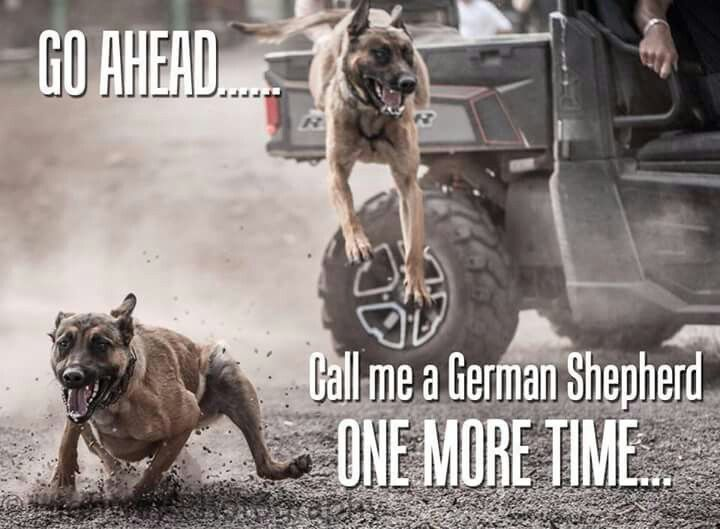 MWDs, BSDs are Belgian Malinois Working Dogs ... take it easy hard cores - talking down to the uneducated doesn't make them want to listen!