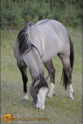 I want this beauty!! I'm absolutely in love with these colored horses right now...