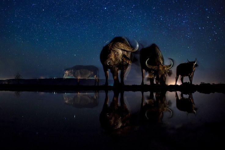 Příroda (3. místo, série): Bence Mate. Hvězdná noční obloha nad africkými buvoly.