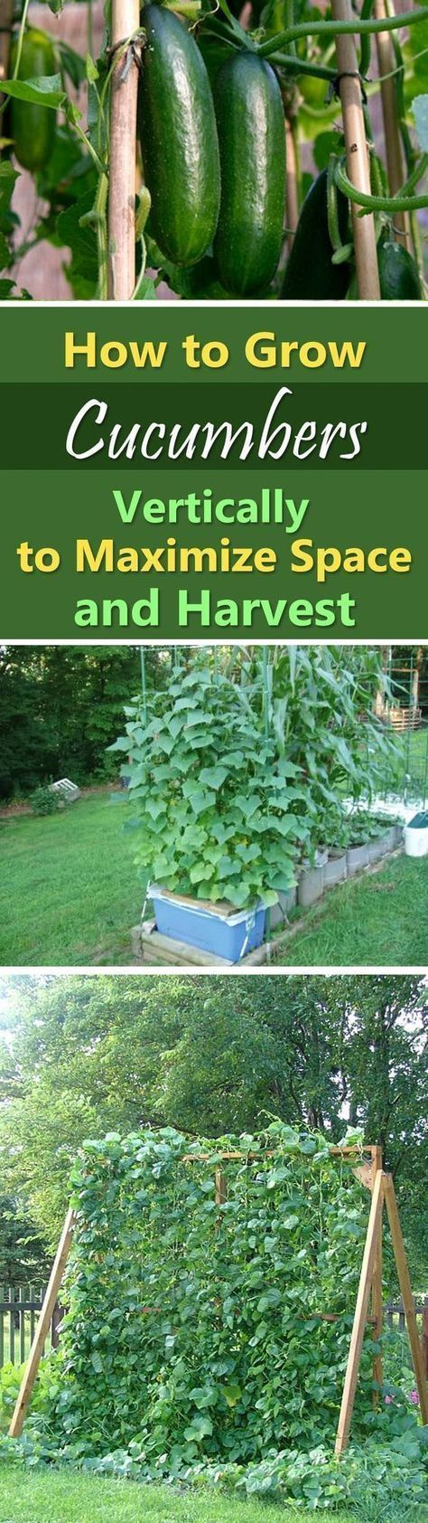 Growing Cucumbers Vertically | How to Grow Cucumbers in Small Garden #greenhousegardening