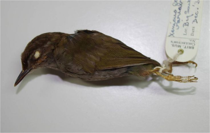 Neuseeland Terror Video Pinterest: Bush Wren. Holotype Of Stead's Bush Wren (AV227