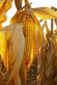 How to Dry Cornstalks...time to start cleaning out the garden