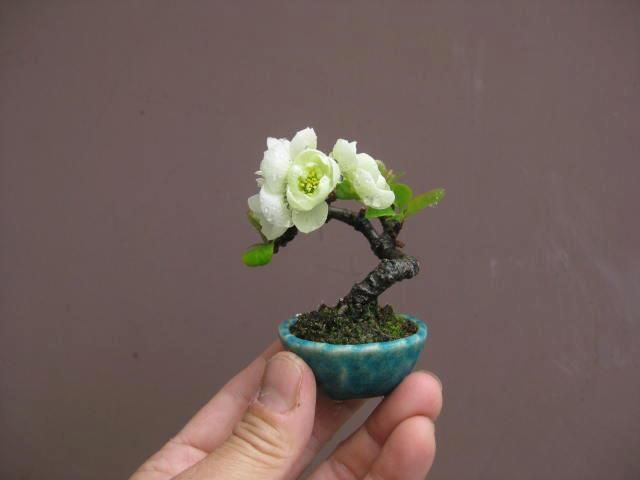 #Bonsai-mini mini mini