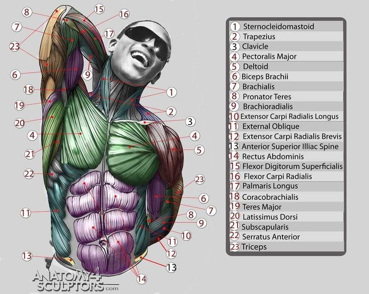 38 best images about anatomy on pinterest | sculpture, videos and, Muscles