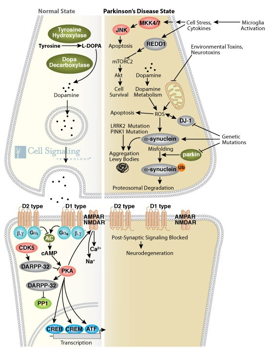 """""""Parkinson's Disease can occur through both genetic mutation and exposure to environmental and neurotoxins, the latter which causes mitochondrial oxidative stress and release of reactive oxygen species, leading to a number of cellular responses including apoptosis and the misfolding of α-synuclein, which can aggregate with itself and other proteins to form cytotoxic Lewy Bodies. Misfolded α-synuclein is normally ubiquitinated by parkin resulting in proteosomal degradation."""""""