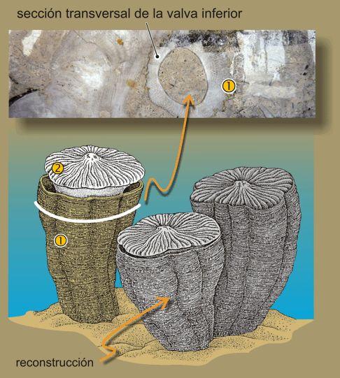 Fosiles en Huelva - Fosiles recifales    Reconstrucción de Rudistas en un ambiente marino somero del Cretáceo: 1) valva inferior; 2) valva superior