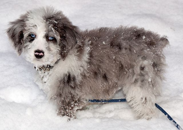 The Aussiedoodle is a medium sized, extremely fluffy and almost indecently cute breed of designer dog created by crossing an Australian Shepherd and a Standard Poodle.