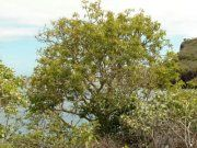 Il  Palo Santo, albero presente nel Sudamerica è dotato di straordinarie proprietà, i benefici si ottengono dall'utilizzo di trucioli e legni, dall'olio essenziale e dagli incensi... http://www.macrolibrarsi.it/speciali/il-palosanto-10-ottime-ragioni-per-usare-legno-incenso-e-olio-essenziale.php?pn=3148