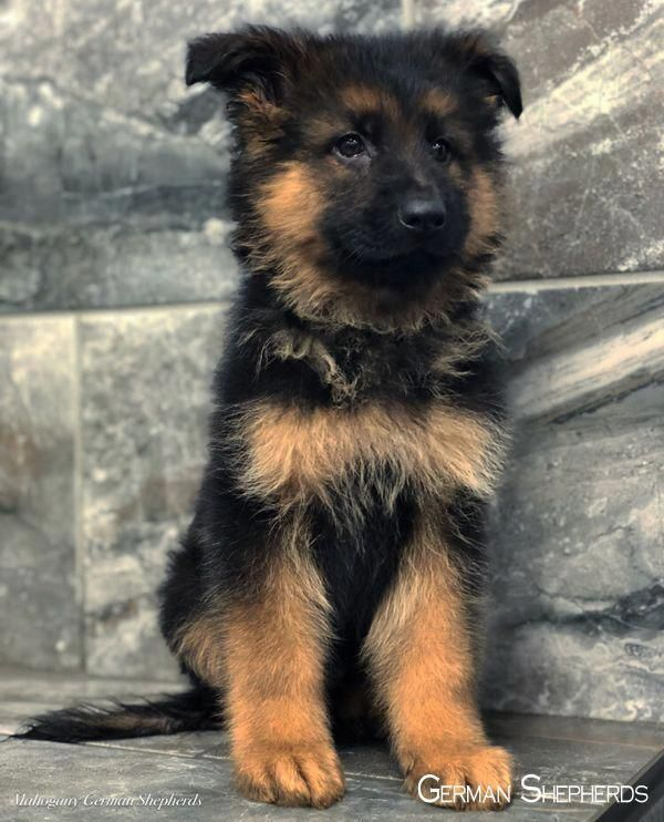 Everything About The Smart German Shepherd Dog Temperament