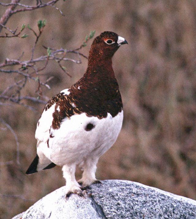 Alaska State Bird - Willow Ptarmigan