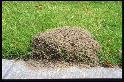 Ants  Simply pour 2 cups of CLUB SODA directly in the center of a fire ant mound. The carbon dioxide in the water is heavier than air and displaces oxygen which suffocates the queen and the other ants. The whole colony will be dead within about two days. Each mound must be treated individually