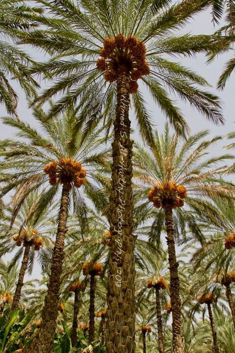 Beautiful Dates Trees Farm - Oman