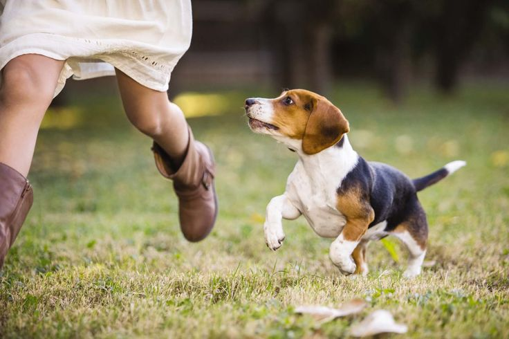 Did you know? Medium breeds (like beagles, English bulldogs, and labradoodles) become adults at 12 months. Many of the medium breeds are sporting, working and herding types. They require appropriate weight maintenance to stay in shape, and should eat their main meal of the day an hour or more after exercise.