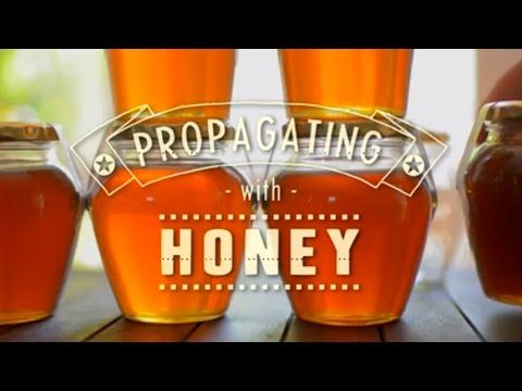 ▶ DIY - Use Honey to Root your Plant Cuttings - Instead of toxic root hormone! Green Renaissance - YouTube