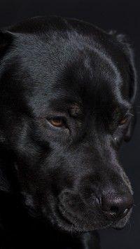 Smutny czarny  labrador retriever