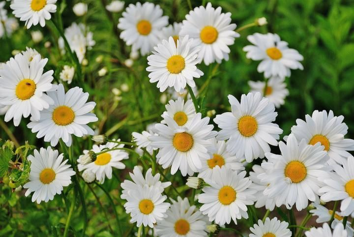 Shasta Daisy  * Grow in full sun  * Water during the summer only if rainfall is less than 1 inch per week.