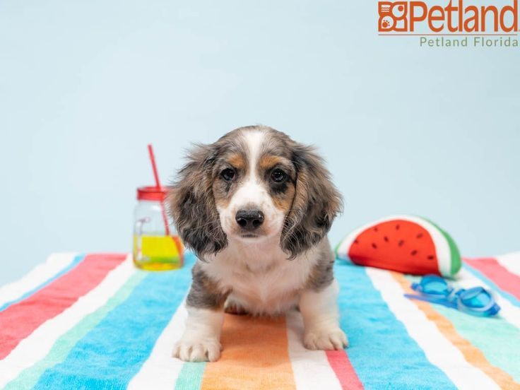 Petland florida has dachshund puppies for sale check out