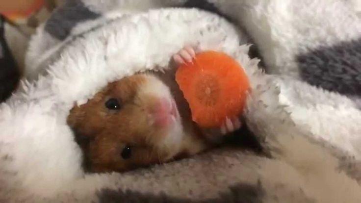 今年もにんじんです♪ Mike's favorite food is carrot ゴールデンハムスターのみけちゃん