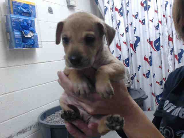 This DOG - ID#A468954 - URGENT - Harris County Animal Shelter in Houston, Texas - ADOPT OR FOSTER - 6 WEEK OLD Male Chihuahua/Dachshund Mix - at the shelter since Sep 23, 2016.