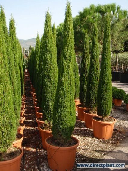 CS: Dwarf cultivars like Cupressus sempervirens 'Green Pillar' - Green Pillar Italian Cypress will stay smaller and more compact as time goes by.    Can be hard to find.