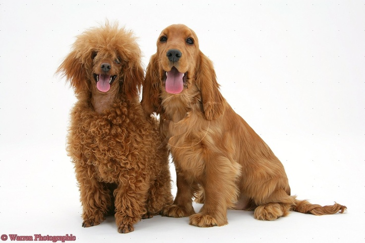Red standard poodle puppies for sale uk