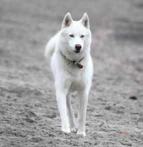 White Husky <3 preferably female <3  Looks like Spar. ):