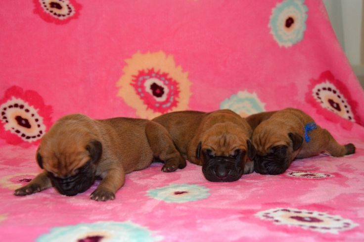 "Miss Red, Miss Pink, Mr. Blue 5 days old Litter ""B"" Happy Chilli Dogs Abby Happy Chilli Dogs x Lucas Big Lord www.happychillidogs.cz"
