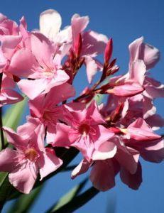 The 25 best laurier rose ideas on pinterest le laurier rose entretien laurier rose and - Quand tailler un laurier rose ...