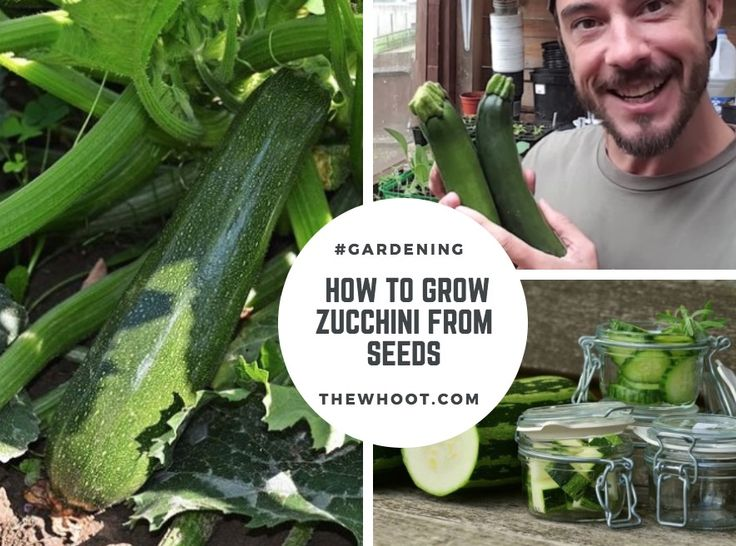 Grow Zucchinis in a container. The seeds will germinate in one week and plants are ready to harvest in 12 weeks. We've included How To Freeze Zucchinis too as you'll have a bumper crop. Drop in to The WHOot for more gardening ideas.