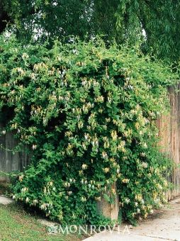 Fast growing honeysuckle to cover up the chain link fence for Fast growing fence covering plants