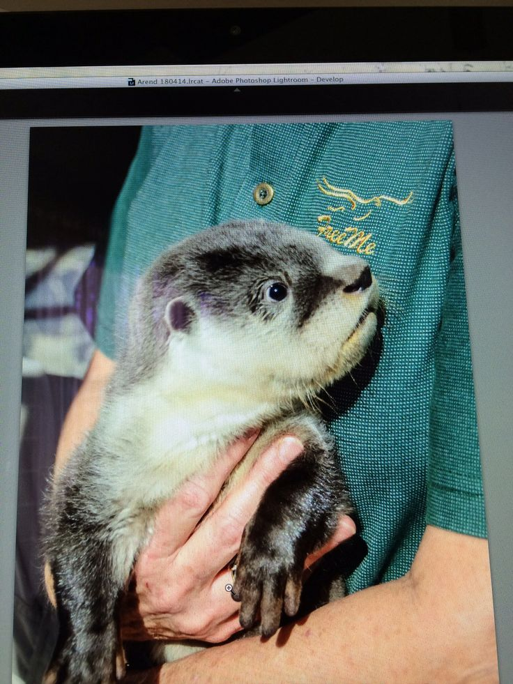 Orphaned 3 month old cape clawless otter got a new home at Freeme. He will be released as soon as he can survive in the wild. #otter #cute #orphaned #cape #clawless #freeme
