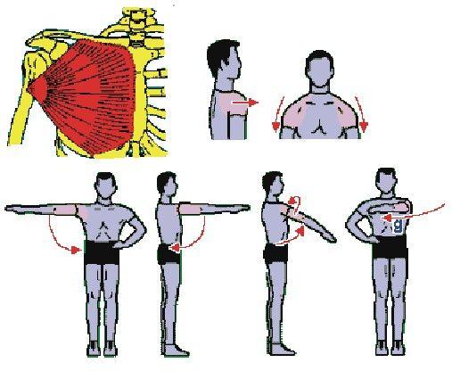 Grande pettorale: le sue funzioni sono di anteporre e abbassare la spalla, addurre il braccio sia sul piano frontale che su quello sagittale e ruotarlo all'interno. Flette orizzontalmente il braccio da in fuori ad avanti.