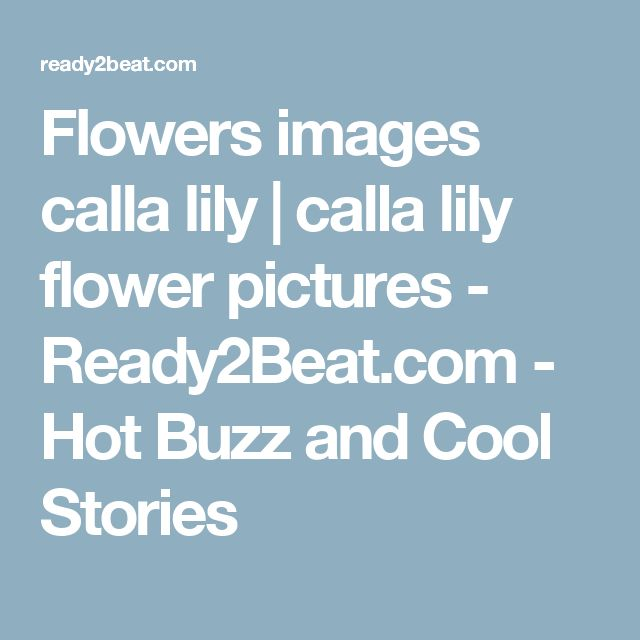 Flowers images calla lily | calla lily flower pictures - Ready2Beat.com - Hot Buzz and Cool Stories