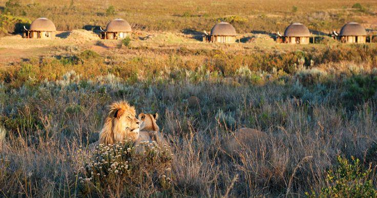 Pride of Lion @ Kwena Lodge
