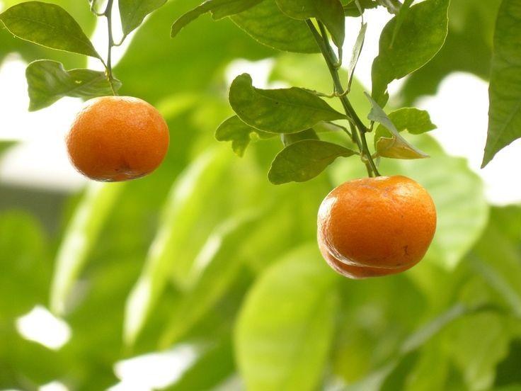 Mandarinka, Oranžový, Strom, Ovoce, Citrusové Plody