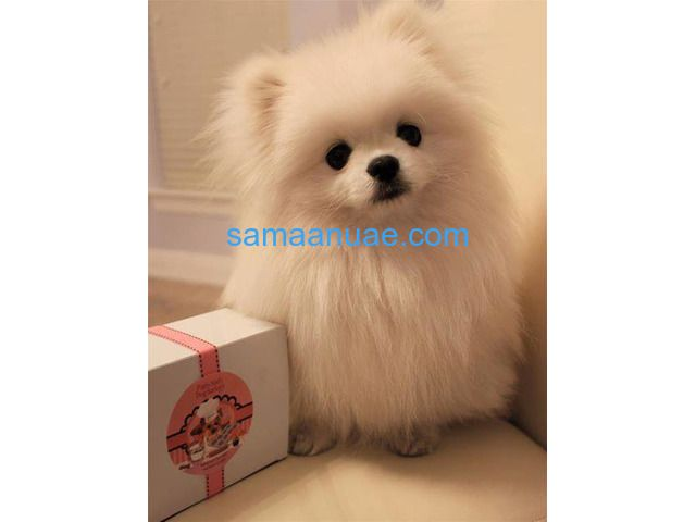 Micro Cute Teacup Teacup Pomeranian Puppies For sale.