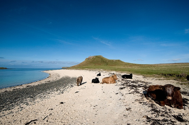 Coral Beach,Skye-Scotland; don't be afraid of the cows