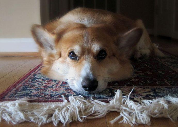 A continuación te mostramos qué puedes hacer para limpiar la orina de tu mascota en la alfombra.