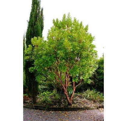 Arbutus 'Marina' - evergreen