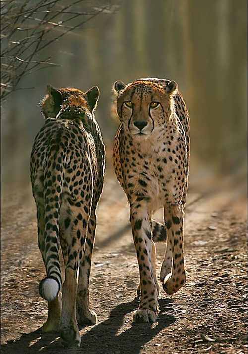 cheetahs...coming and going......