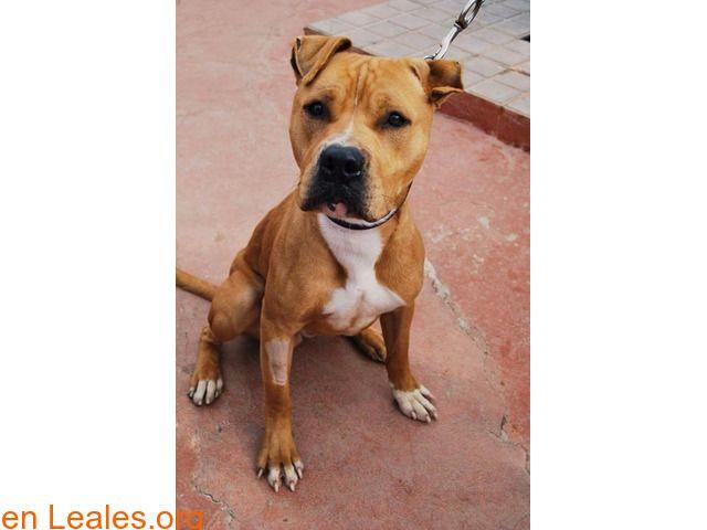Perros en adopción  España  Las Palmas - Gran Canaria  Ingenio March 05 2018 at 11:21PM   Carlos - CETA Ingenio  #ADOPCIÓN  Contacto y Info: https://leales.org/animales-en-adopcion/perros-en-adopcion/carlos-ceta-ingenio_i2738 #Difunde en #LealesOrg un #adopta y sé #acogida para #AdoptaNoCompres O un #SeBusca de #perro o #gatos; #perdido o #encontrado ℹ BUSCA ADOPCIÓN NOMBRE: CARLOS SEXO: MACHO EDAD: 1 AÑO RAZA: MESTIZO PITBULL TAMAÑO : GRANDE CARÁCTER: SOCIABLE CON LAS PERSONAS PESO: 20…